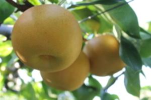 あきづき梨 お試し特価